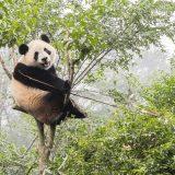 中国パンダ